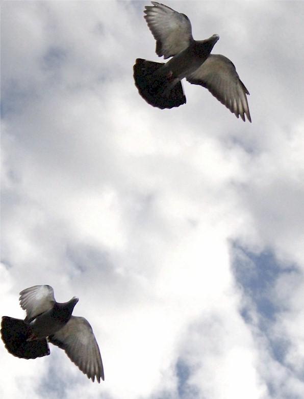 pigeony linguish