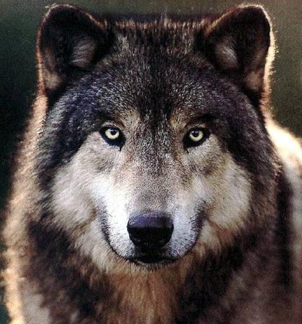 If you would operate by means of our bodies, take a fierce grey wolf, which, though on account of its name it be subject to the sway of warlike Mars, is by birth the offspring of ancient Saturn, and is found in the valleys and mountains of the world, where he roams about savage with hunger. Cast to him the body of the King, and when he has devoured it, burn him entirely to ashes in a great fire. By this process the King will be liberated; and when it has been performed thrice the Lion has overcome the wolf, and will find nothing more to devour in him. Thus our Body has been rendered fit for the first stage of our work.