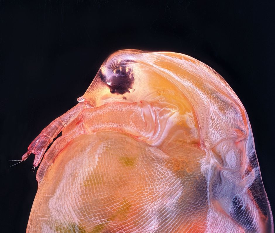 Daphnia magna (Phyllopoda).Microscopic images reveal the hidden beauty of the invisible world, tech news, science news, news