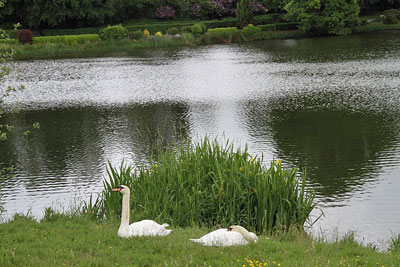 swans-at-rest-during-od-201