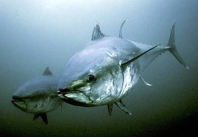 Lystfiskere søges til nyt tunprojekt