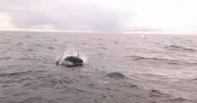 Norge klar til tun-mærkning (…se overfladevideo af jagende tun…)