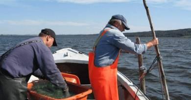 Erhvervsfiskeriet efter aborre, sandart og gedde går fortsat tilbage