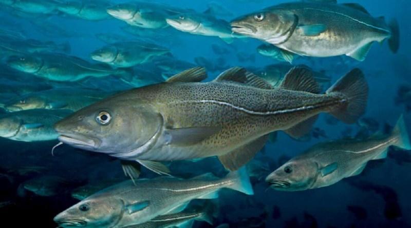 Ny torskekvote er trådt i kraft