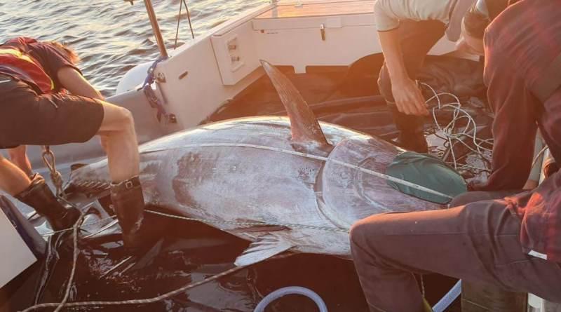 Hele 18 x blåfinnet tun er mærket!