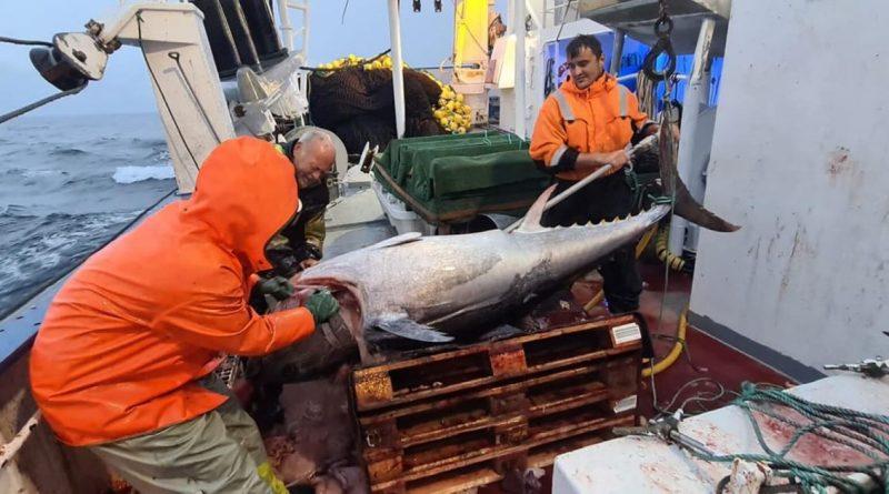 Nordmænd fanger 105 tun på een gang !!