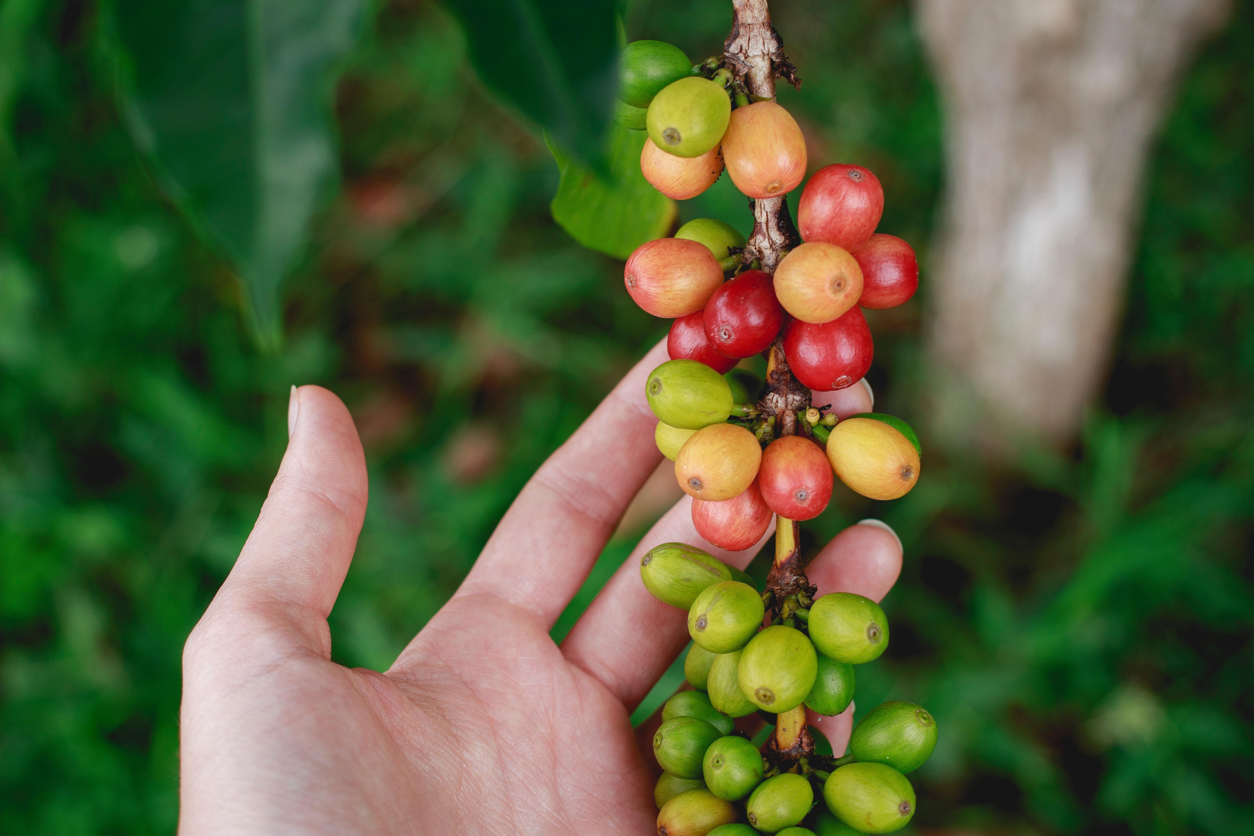 Smag På Kaffen – Verden Rundt