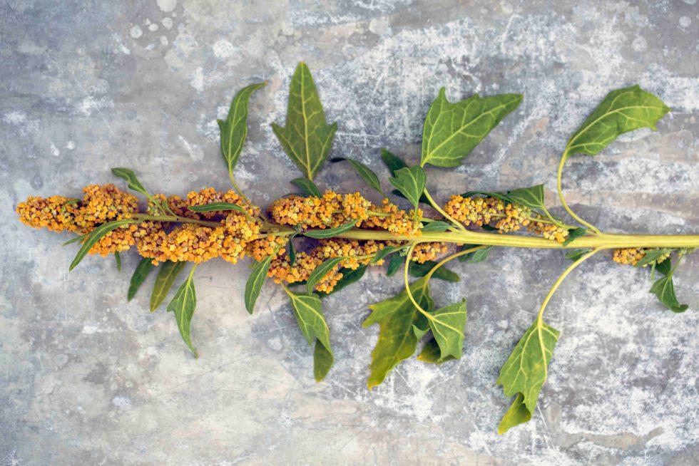 Quinoa - Inkaens gull