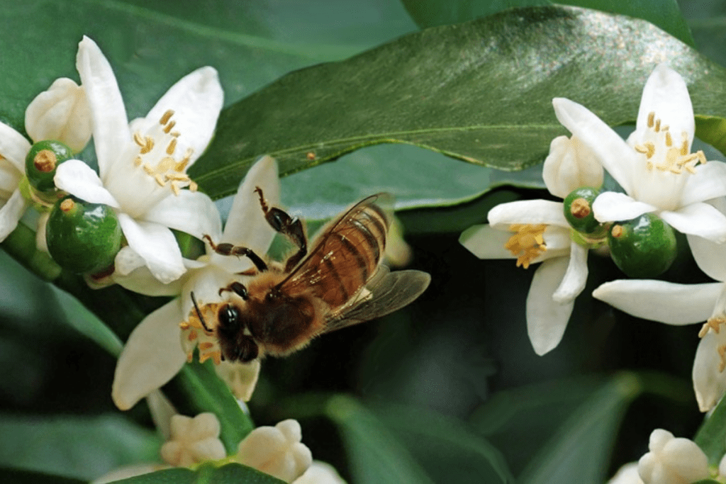 bees collecting pollen from kumquat flowers
