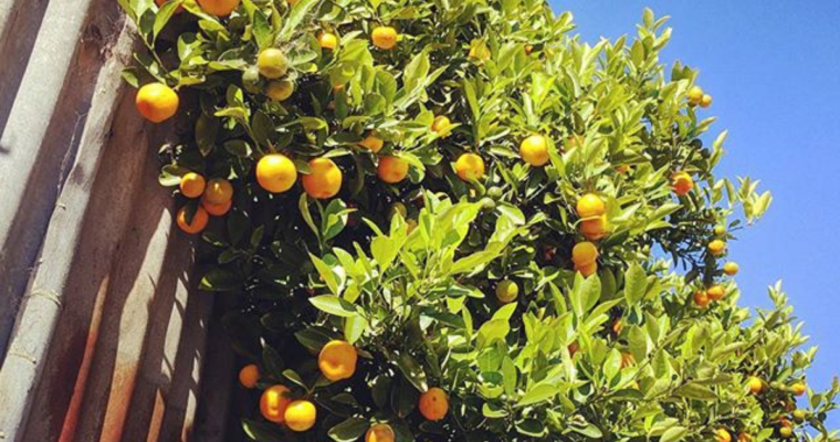 """If you can peel them, they're not kumquats"": How to choose and use kumquats"
