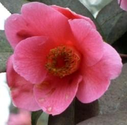 camellia williamsii spangles