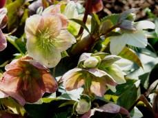Helleborus x ericsmithii 'Ruby Glow'