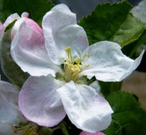 Blossom apple 'Lord Lambourne'