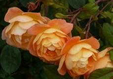 orange Bodnant 3