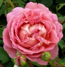 pink at Bodnant 3