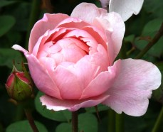 pink at Bodnant