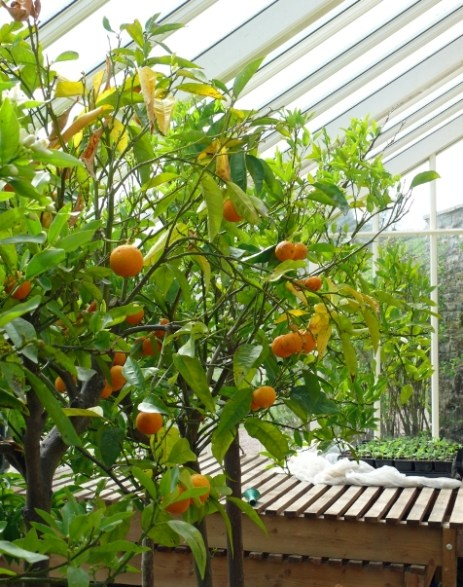 oranges in the glasshouse