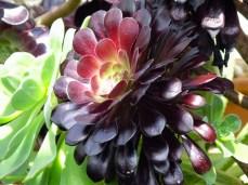 S = Succulents (5)