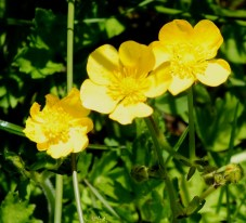 Ranunculus acris - Meadow buttercup