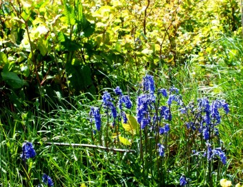 late Bluebells