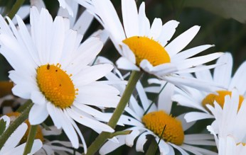 Leucanthemum vulgare - Ox-eye Daisy