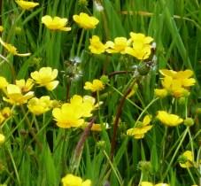 Ranunculus acris - Buttercups