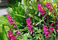 Crimson Flag Lily - Schizostylis coccinea grandiflora