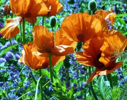 Backlit Poppies and salvia