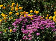 Monarda 'Velvet Queen' and Helianthus 'Loddon Anna'