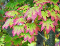 japanese-maples-1