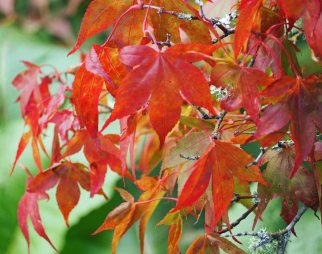 japanese-maples-3