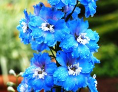 Raindrops on Delphiniums