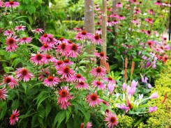 Echinaceae