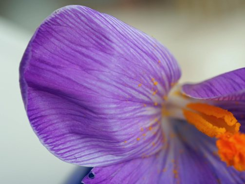 5-minute-crocus-4