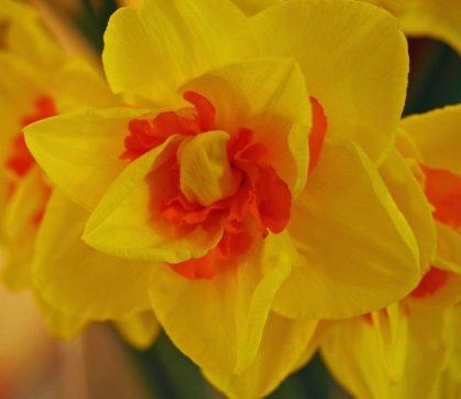 5--minutes-daffodils (11)