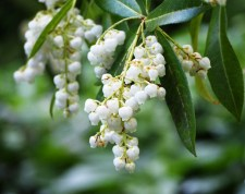 pieris flowers