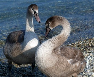 two cygnets 1