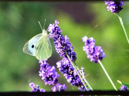 July - Large White and Lavender