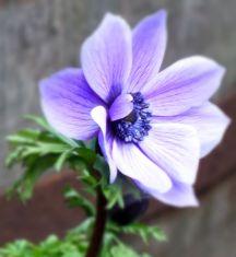 Lonesome Anemone (Feb)