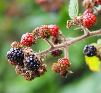 Blackberries ripening (September)