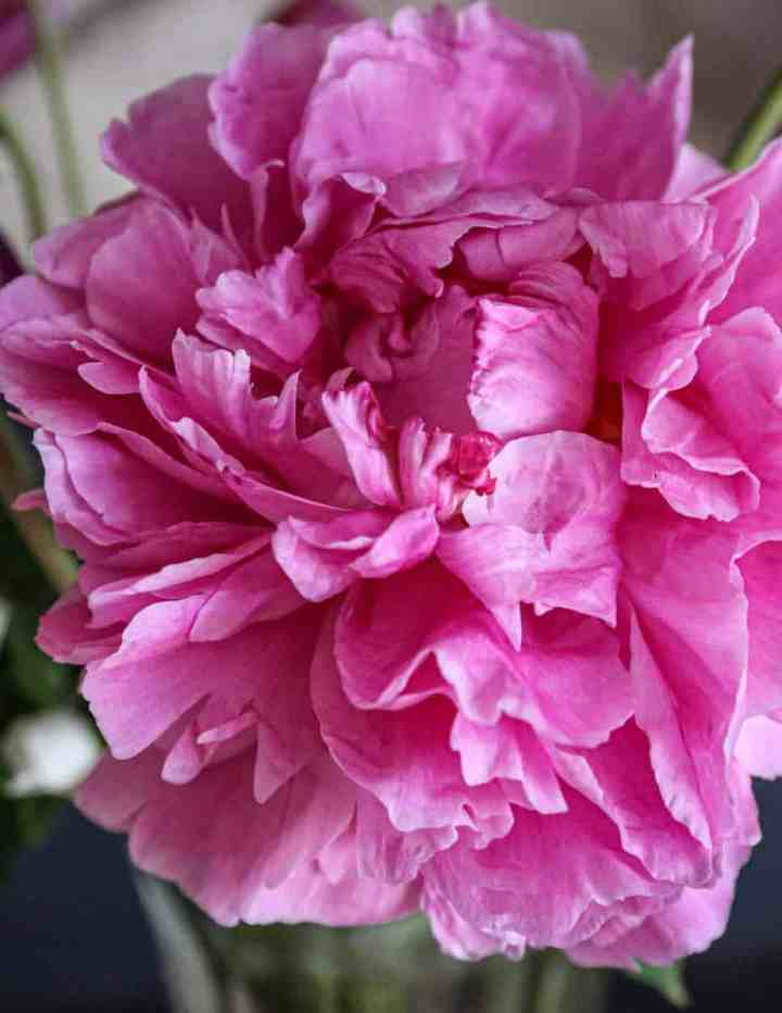 a fuschia peony flower from my garden