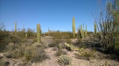Saguaro & Organ Pipe