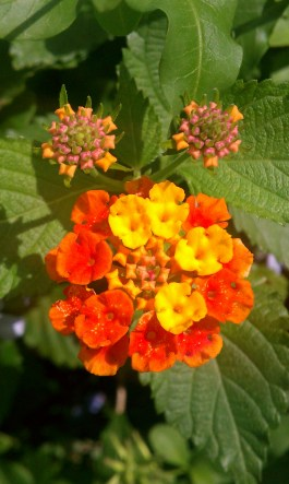 Orange and Yellow Butterfly Bush