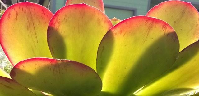 Aeonium with sun shining through leaves