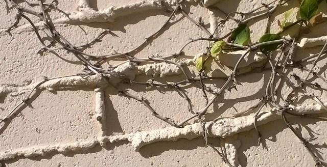White Bricks with Vine La Jolla CA