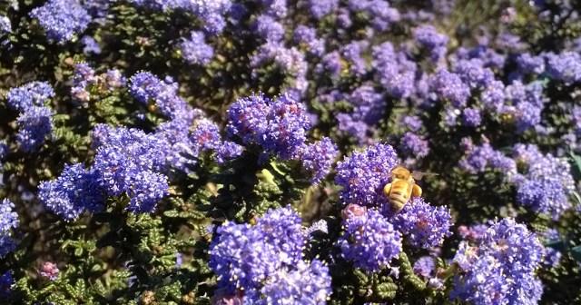 Ceonothus with Honey Bee