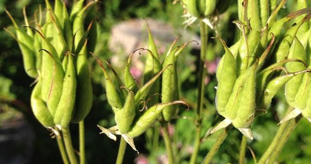 Columbine Seed Heads Montara CA Garden