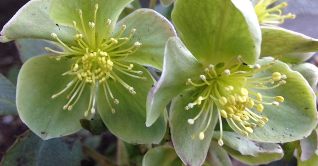 Hellebore small life detail