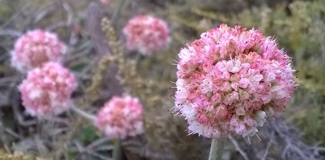 Eriogonum Flowers Montara Mountain CA