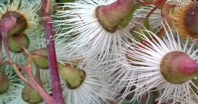 Eucalyptus Flowers Montara CA